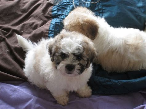 shih tzu x bichon puppies shih tzu x bichon frise puppies ready now breeds picture