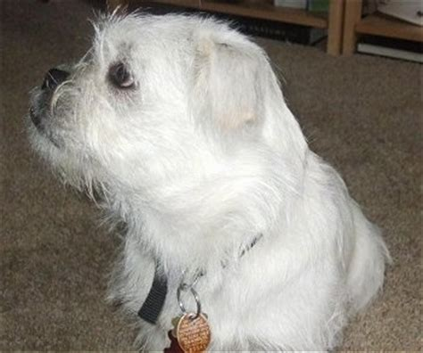 west highland terrier pug mix pugland breed information and pictures