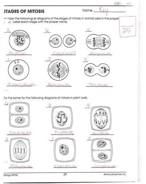 Mitosis Worksheet And Diagram Identification Answers by Mitosis Worksheet And Diagram Identification Answer Key