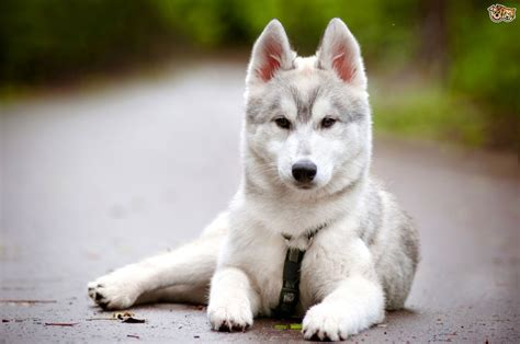 puppy personality image gallery husky dogs personality