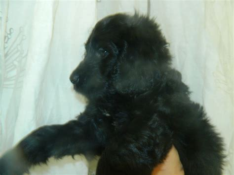 bernese mountain poodle puppy standard poodle x bernese mountain clacton on sea essex pets4homes