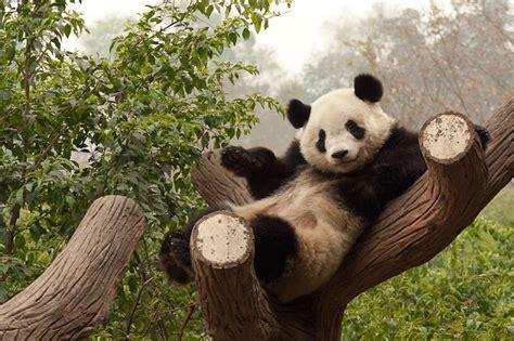 Funny Panda Sleeping On Tree Cute   laughspark.com