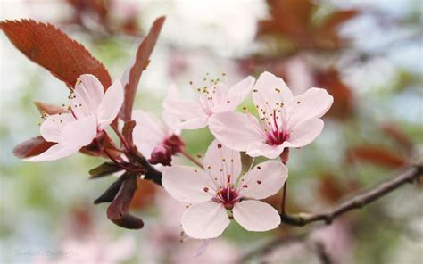 fiori ciliegio fiori ciliegio fiori di piante caratteristiche dei
