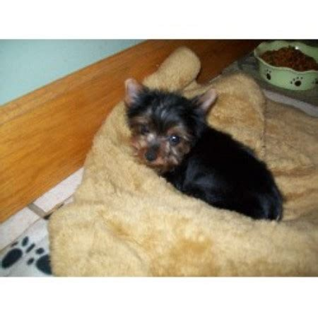 yorkie breeders indiana k d s yorkies terrier breeder in logansport indiana listing id 19041
