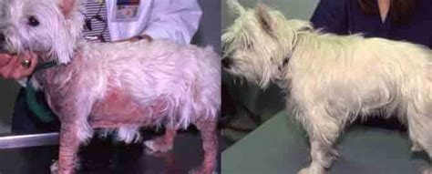 dogs itchy skin skin itch causes and treatment