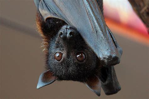le pipistrelo assisi al bosco di san francesco con gli amici pipistrelli tuttoggi