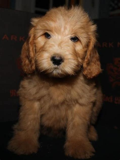 golden labradoodle puppies puppies of cherri kinkly a beau monde labradoodle these are the best labradoodles in