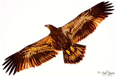 the golden eagle this eagle silhouette was taken at the
