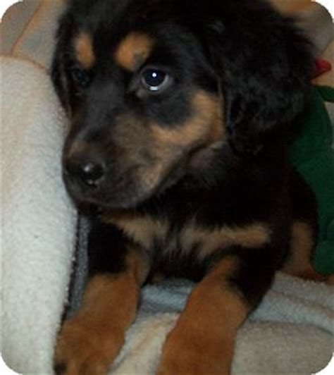rottweiler rescue in pa mechanicsburg pa rottweiler meet a for adoption