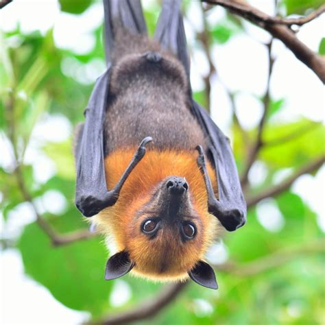 a fruit bat exceptionally enthralling facts about the fruit bat