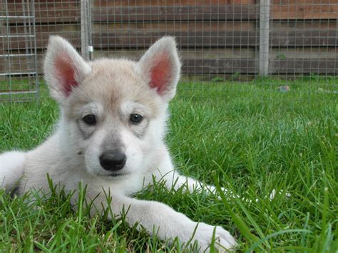 northern inuit for sale northern inuit pup available cupar fife pets4homes