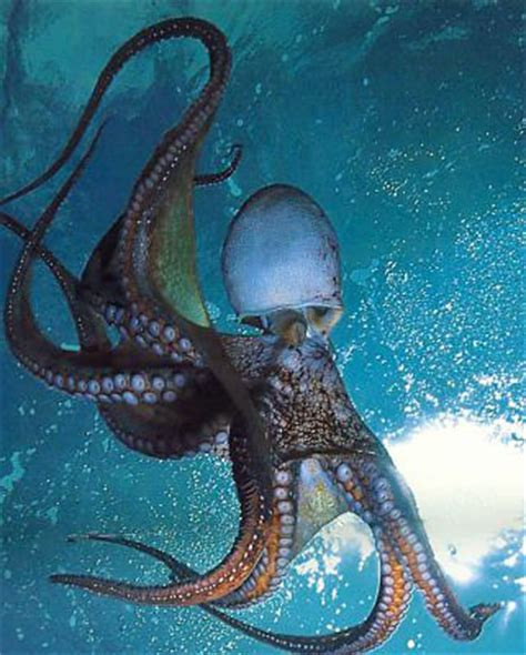 octopus blood color the octopus is a master of disguises octopus facts