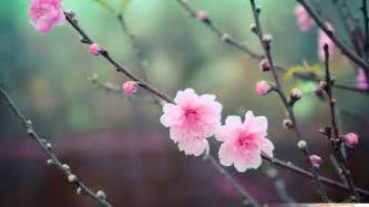 blossom cherry picture wallpapers wallpaper 20 asian cherry blossom flower