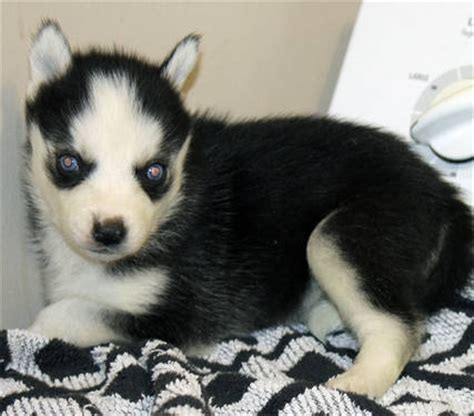 miniature siberian husky puppies for sale siberian huskies for sale in port florida breeds picture
