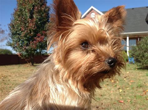 all about yorkies oh wesley you re so sweet yorkie all about yorkies 2