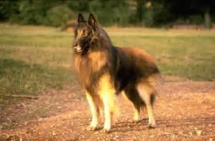 belgian sheepdog adoption belgian sheepdog groenendael guide to belgian sheepdogs