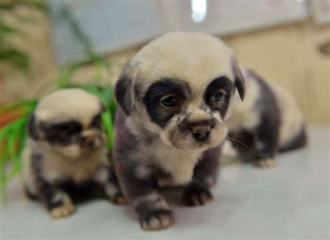 puppies that look like pandas these adorable puppies look just like miniature panda cubs bored panda