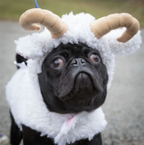 pug events annual pug parade event moving to lake luzerne local poststar