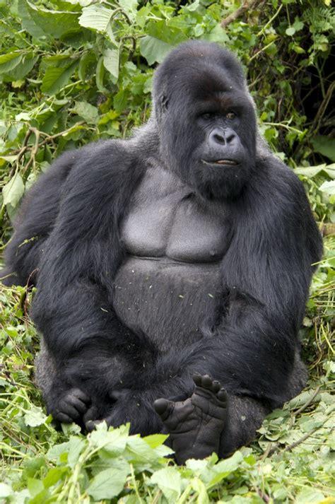 Mountain Gorillas   notesfromcamelidcountry