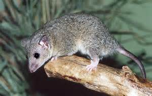 short tailed opossum scales n tails