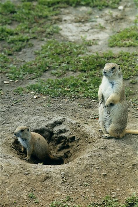 free puppies south dakota prairie dogs south dakota there s no two ways about it flickr