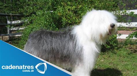 imagenes pastor ingles la belleza de los perros pastor ingl 233 s entrevista a