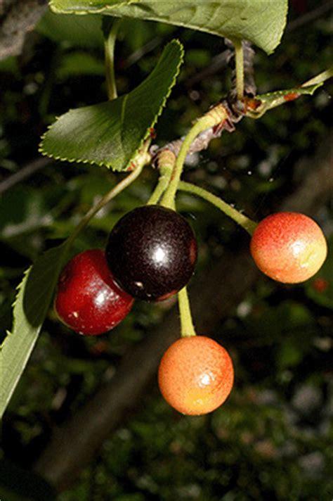 cherry tree no fruit prunus serrulata fact sheet