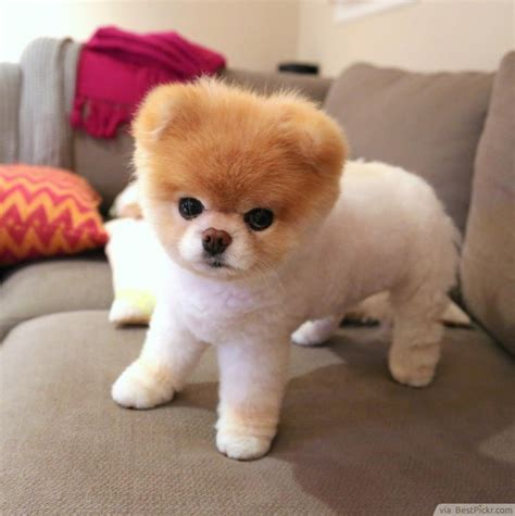 pomeranian boo breed the cutest in the world 37 best pomeranian breed pictures of boo bestpickr