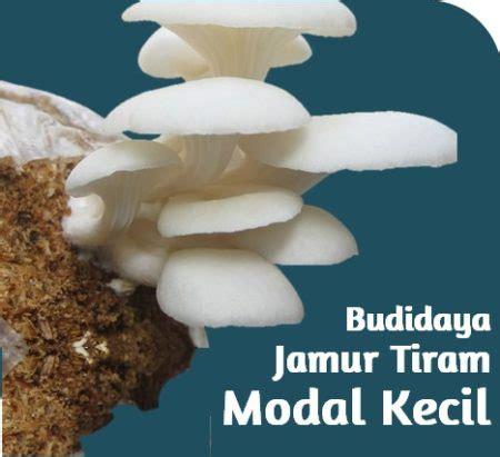 budidaya jamur tiram  pemula mudah  urut