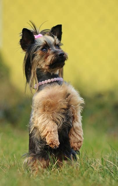 all about yorkies personality terriers temperament personality terrier knuffige winzlinge mit