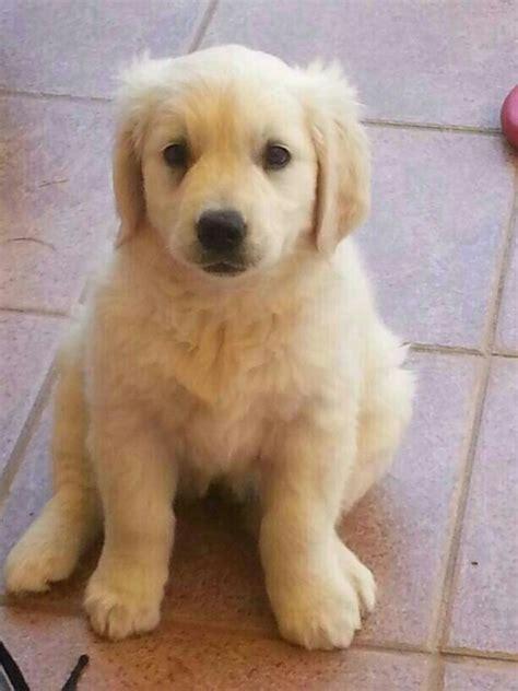 cachorros golden retriever cachorro de golden retriever mundo perro