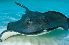 Short tailed Stingray: One of the world's largest ray species