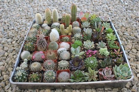 cactus for sale 2 quot succulent cactus mix wedding succulent favors for sale bulk succulents