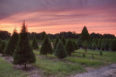 christmas tree farms in florida