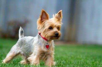 yorkie traits terrier puppies breeders and pictures