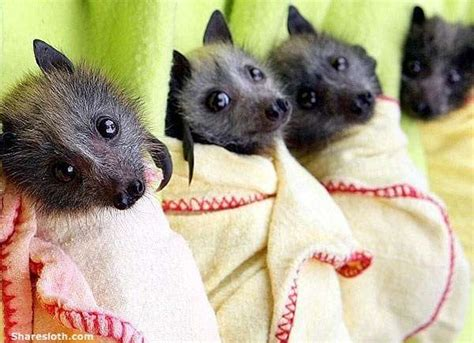 cute baby flying fox bat cute bats these cute bat pictures will blow your mind