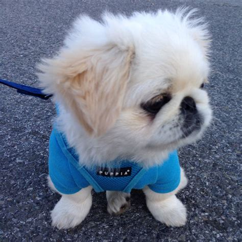 pekingese puppies and now a parade of pekingese puppies
