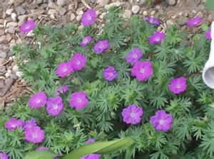 geranium wlassovianum perennial purple pink long lasting