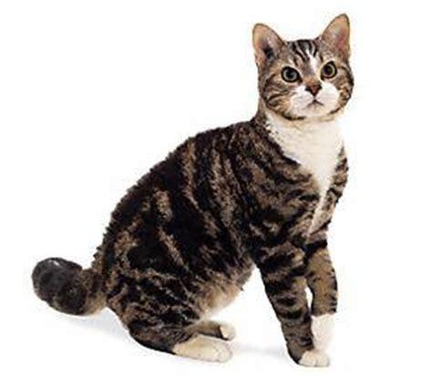 american wirehair cat breeders poes de anatolische seniorennet voor mensen met levenservaring en levenswijsheid