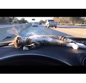Cat Rests On Car Dashboard  YouTube