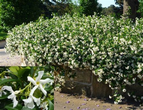 climbing plants that produce fragrant flowers - Fragrant Climbing Plants