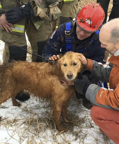 golden retriever rescue hawaii rescued from 14 foot sinkhole after 2 nights inside the seattle times