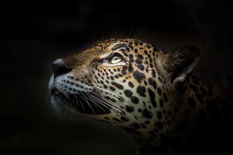imagenes del multicitado jaguar la conservaci 243 n del jaguar en m 233 xico fundaci 243 n carlos slim