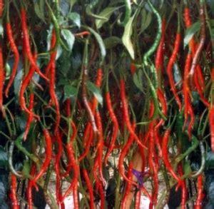 Cabe Merah Keriting cara budidaya cabe merah atau cabe keriting berikut caranya