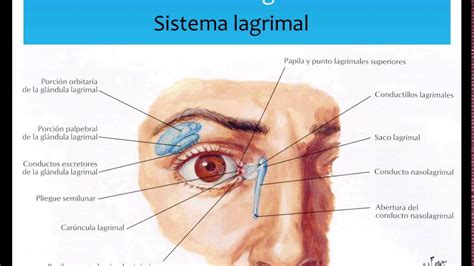 glandula submaxilar anatomia anatomia ocular youtube
