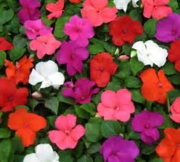 impatiens flowers the end of impatiens gardening
