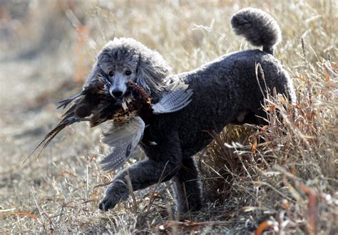 are poodles dogs that hunts yes poodles do startribune