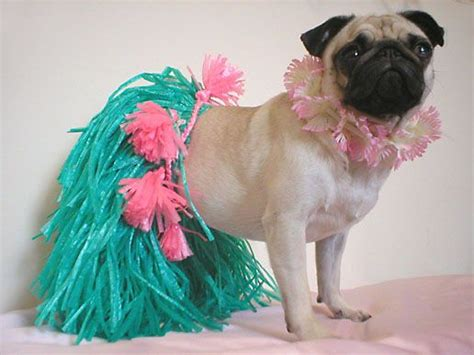 pug puppies oahu 224 best images about pug clothes and costumes on apple costume