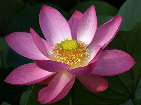 buddhist symbol lotus flower ho oponopono for the doctor s soul july 2010