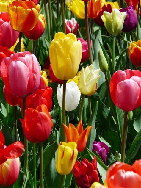 Beli Bibit Bunga Tulip kostenloses foto tulpe gelb gelbe tulpe tulpen